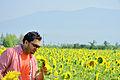مزارع زهرة الشمس.JPG