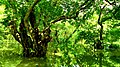 রাতারগুল বাগানের গাছ ও জলাভুমির ছবি 04.jpg