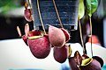 หม้อข้าวหม้อแกงลิง tropical pitcher plants Genus Nepenthes Photographed by Trisorn Triboon 04.jpg