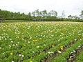 ファーム富田 - panoramio.jpg