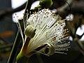 修面刷樹 Pseudobombax ellipticum -日本大阪鮮花競放館 Osaka Sakuya Konohana Kan, Japan- (42205789171).jpg