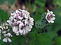 天竺葵屬 Pelargonium australe -阿姆斯特丹植物園 Hortus Botanicus, Amsterdam- (9246074183).jpg