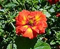 委陵菜屬 Potentilla William Rollison -溫哥華植物園 VanDusen Botanical Garden, Vancouver- (9252383053).jpg