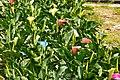 海芋 Calla Lily ( Alocasia macrorrhizos) - panoramio.jpg