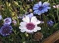 異葉藍雛菊 Felicia heterophylla -上海國際花展 Shanghai International Flower Show- (17351683202).jpg