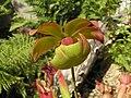 矮瓶子草(北美瓶子草) Sarracenia purpurea -阿姆斯特丹植物園 Hortus Botanicus, Amsterdam- (9216098844).jpg