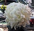 菊花-鏤冰刻玉 Chrysanthemum morifolium 'Engraved Ice Carved Jade' -香港圓玄學院 Hong Kong Yuen Yuen Institute- (12099372354).jpg