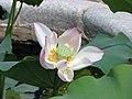 蓮花-食用藕 Nelumbo nucifera -深圳洪湖公園 Shenzhen Honghu Park, China- (14412563955).jpg