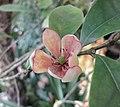 闊瓣含笑 Michelia platypetala -香港花展 Hong Kong Flower Show- (9213355631).jpg