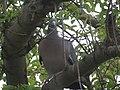 -2019-05-11 Wood Pigeon (Columba palumbus), Trimingham, Norfolk (3).JPG