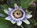-2019-08-21 Passionflower (Passiflora incarnata), Trimingham (2).JPG