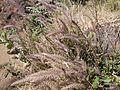 ... flowers of grass (5288332816).jpg