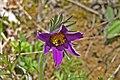 00 1197 Blüte der Küchenschelle - Pulsatilla vulgaris.jpg