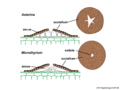 04 03 55 fruiting bodies, Asterinaceae, Microthyriales, Ascomycota (M. Piepenbring).png