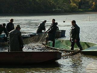 Výlov rýb na rybníku do siete