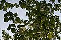0 Davidia involucrata - Mariemont 2.JPG