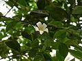 1-Murraya paniculata 03.JPG