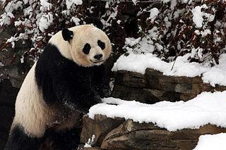 Mei Xiang female giant panda