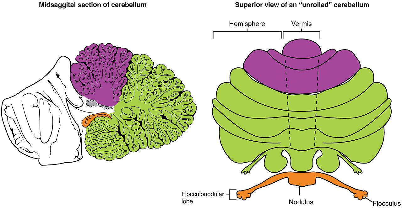 File:1613 Major Regions of the Cerebellum-02.jpg - Wikimedia Commons