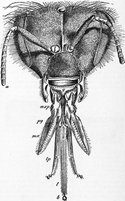 1911 encyclopdia britannicabee wikisource the free online library 1911 britannica bee apisg ccuart Images