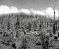 1945. Wolf Creek Burn (Tillamook Burn) of 1933 from Sunset Highway showing snag patch. Oregon. (26445180969).jpg