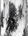 1956. Pseudohylesinus grandis egg galleries and larval mines on the inner bark surface of Abies amabilis. (34720905961).jpg