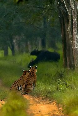 Tigers watching gaurs in Bhadra WLS