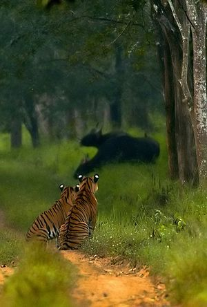 Bhadra Wildlife Sanctuary - Tigers watching gaurs in Bhardra WLS