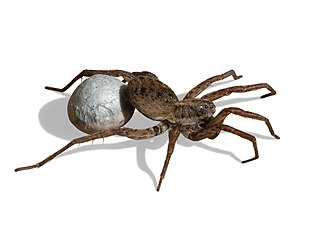 Wolf spider - Image: 20071030 Wolf Spider Carrying Egg Sac (Masked)