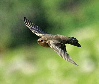 Rock martin - H. fuligata pretoriae in flight