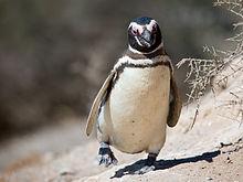 20110301155553!Magellanic penguin, Valdes Peninsula, e-2.jpg