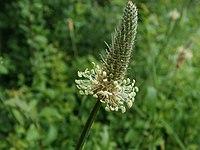 20120610Plantago lanceolata1.jpg