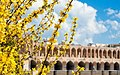 2013 Spring blossoms in Isfahan 06.jpg