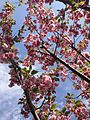 2014-05-12 10 56 04 Flowering Cherry along Lawrence Road (U.S. Route 206) in Lawrence Township, New Jersey.JPG