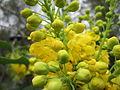 20140315Mahonia aquifolium2.jpg