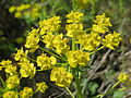 20140418Euphorbia cyparissias2.jpg