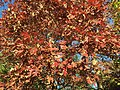 2015-11-08 15 20 54 White Oak foliage during autumn along West Ox Road (Virginia State Secondary Route 608) in Oak Hill, Fairfax County, Virginia.jpg