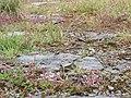 20150621Thymus serpyllum5.jpg