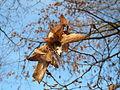 20151112Carpinus betulus3.jpg