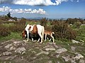 2017-05-16 16 19 45 Mother pony and foal along the Appalachian Trail on Wilburn Ridge, within the Mount Rogers National Recreation Area in Grayson County, Virginia.jpg
