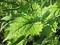 20180519Alliaria petiolata2.jpg