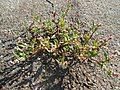 20180919Persicaria lapathifolia1.jpg