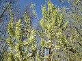 20190320 Salix cinerea 05.jpg