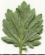 2020 year. Herbarium. Artemisia vulgaris. img-002.jpg