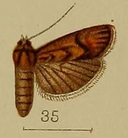 35-Heterographis augentescens=Ancylodes argentescens (Hampson, 1912).JPG