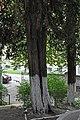 46-101-5022 Lviv Mushaka 54 Taxus Baccata RB 18.jpg