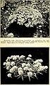 500 wild flowers of San Antonio and vicinity (1922) (16478528898).jpg