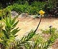 6 - Aloe commixta - inflorescence - Cape Town.jpg