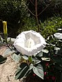 7955 - D.innoxia - Fleur.jpg
