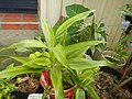 9663Ornamental plants in the Philippines 07.jpg